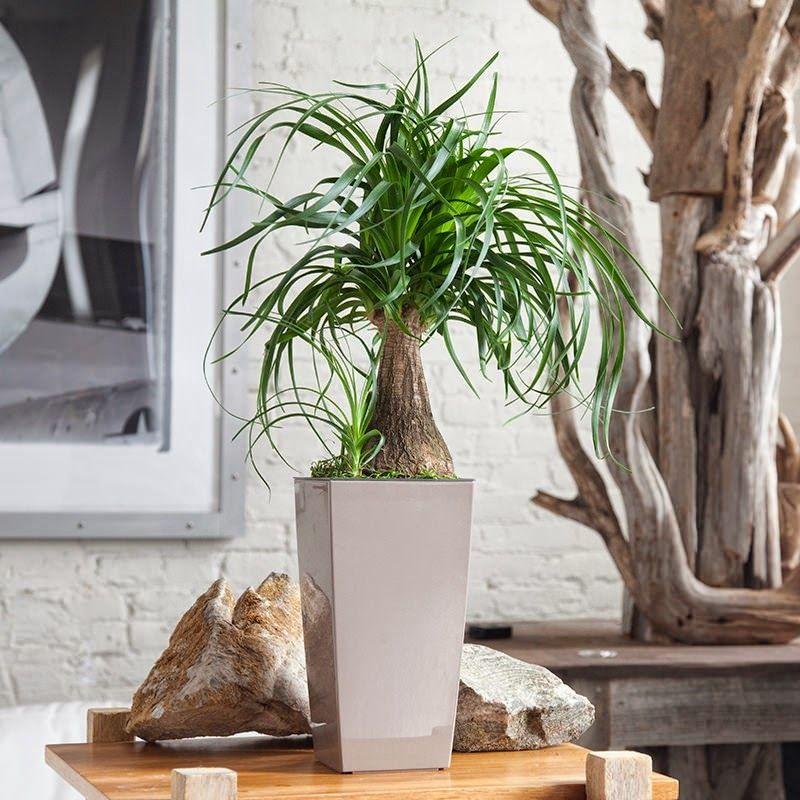 Φυτά που δύσκολα μπορείς να σκοτώσεις, ponytail palm