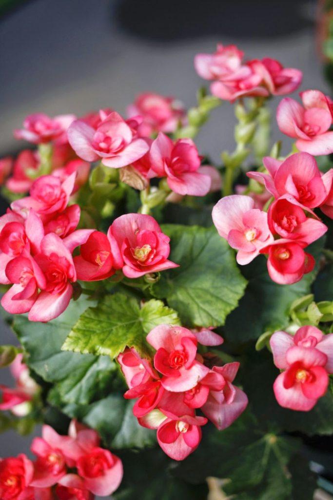 Ανθεκτικά φυτά, Μπιγκόνια