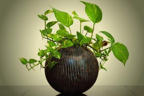Φυτά που δύσκολα μπορείς να σκοτώσεις, πόθος