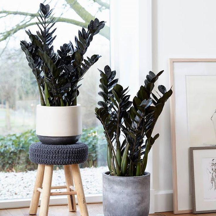 Φυτά που δύσκολα μπορείς να σκοτώσεις, Ζαμιόκουλκας