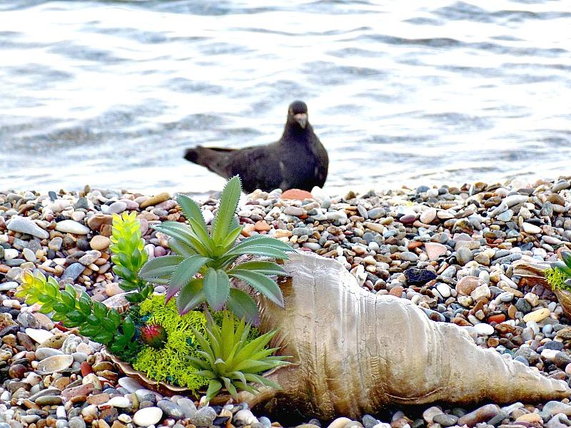 Μίνι κήπος από παχύφυτα μέσα σε κοχύλι δίπλα στη θάλασσα