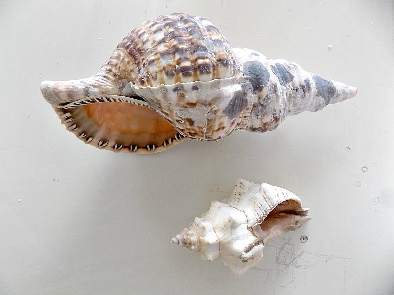 Sea shells, koxylia