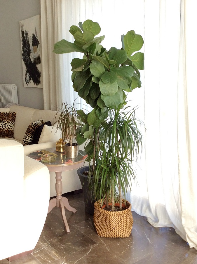 Indoor plants, ficus lyrata