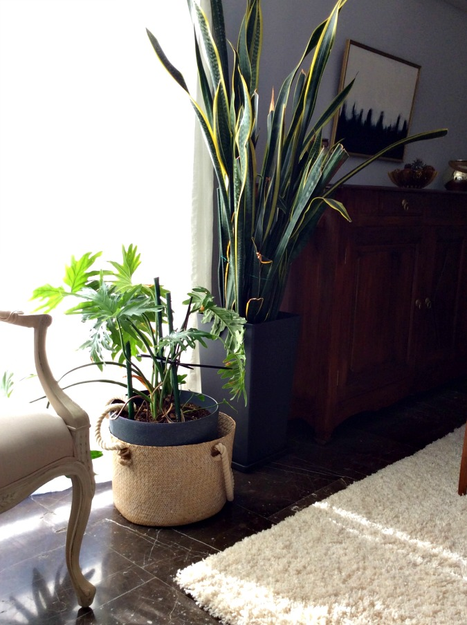 Indoor plants, sansiveria
