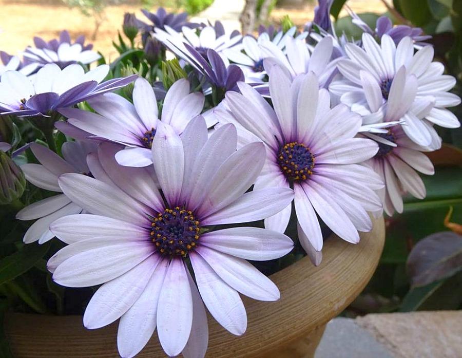 Διμορφοθήκη, δώδεκα από τα ομορφότερα ανοιξιάτικα λουλούδια
