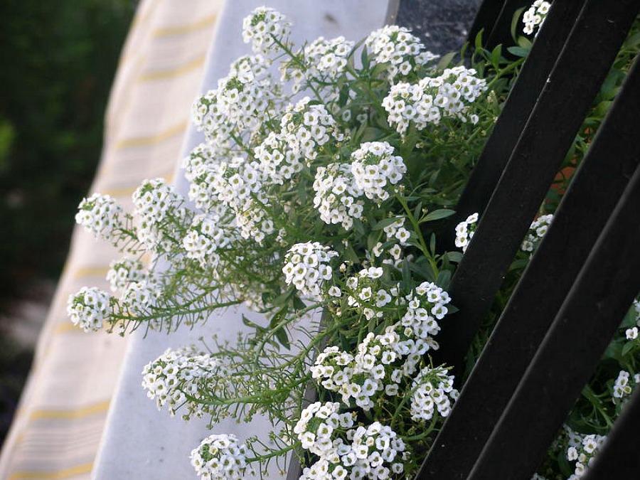 Άλυσσος με λευκά άνθη