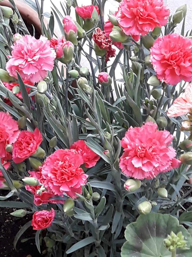 Ροζ γαρυφαλλιά, δώδεκα από τα ομορφότερα ανοιξιάτικα λουλούδια