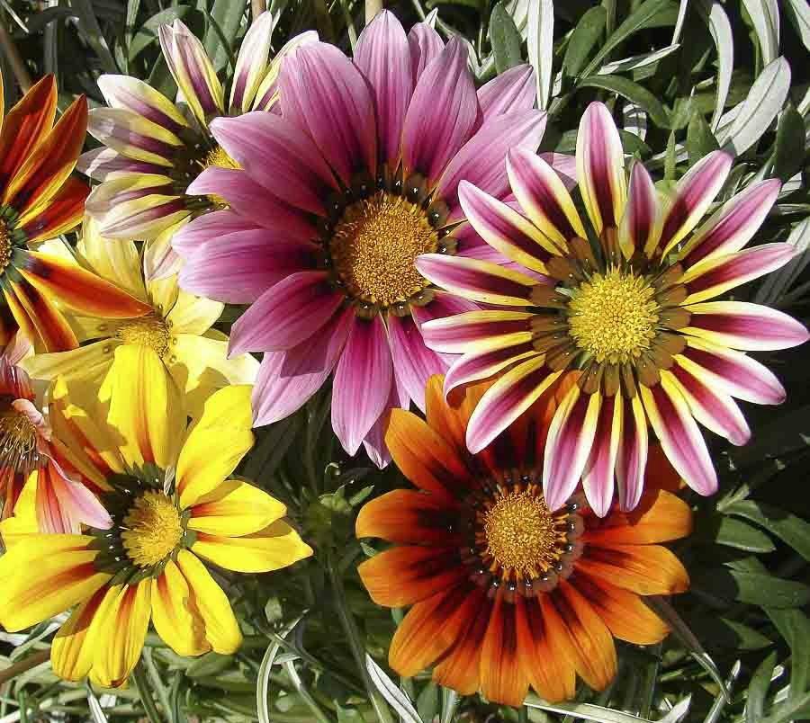 Γκαζάνια, δώδεκα από τα ομορφότερα ανοιξιάτικα λουλούδια
