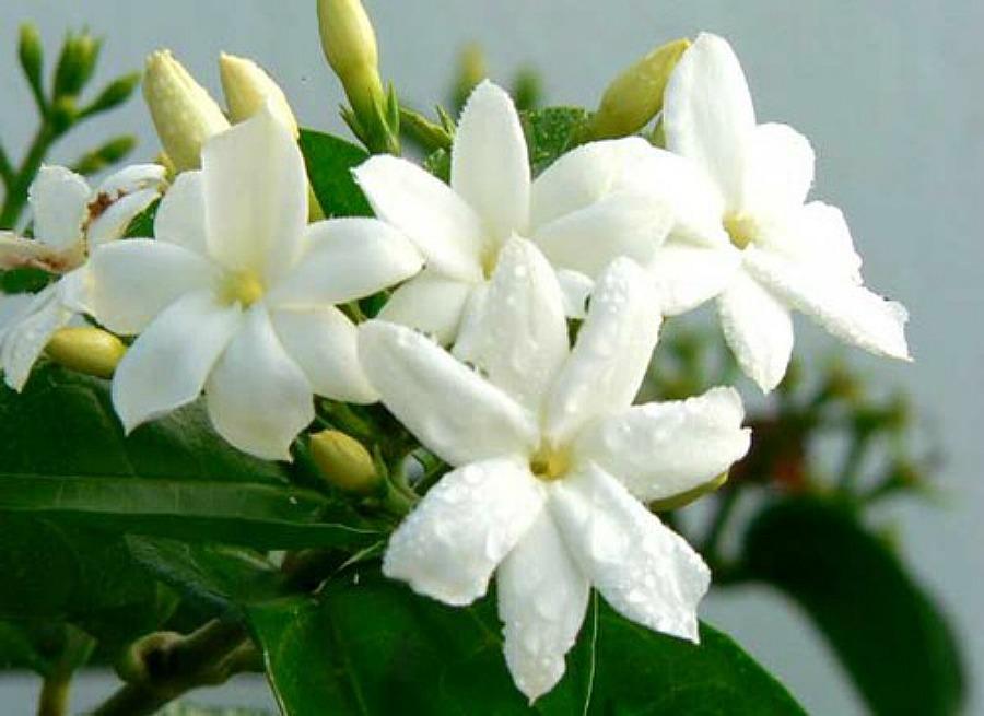 Γιασεμί, δώδεκα από τα ομορφότερα ανοιξιάτικα λουλούδια