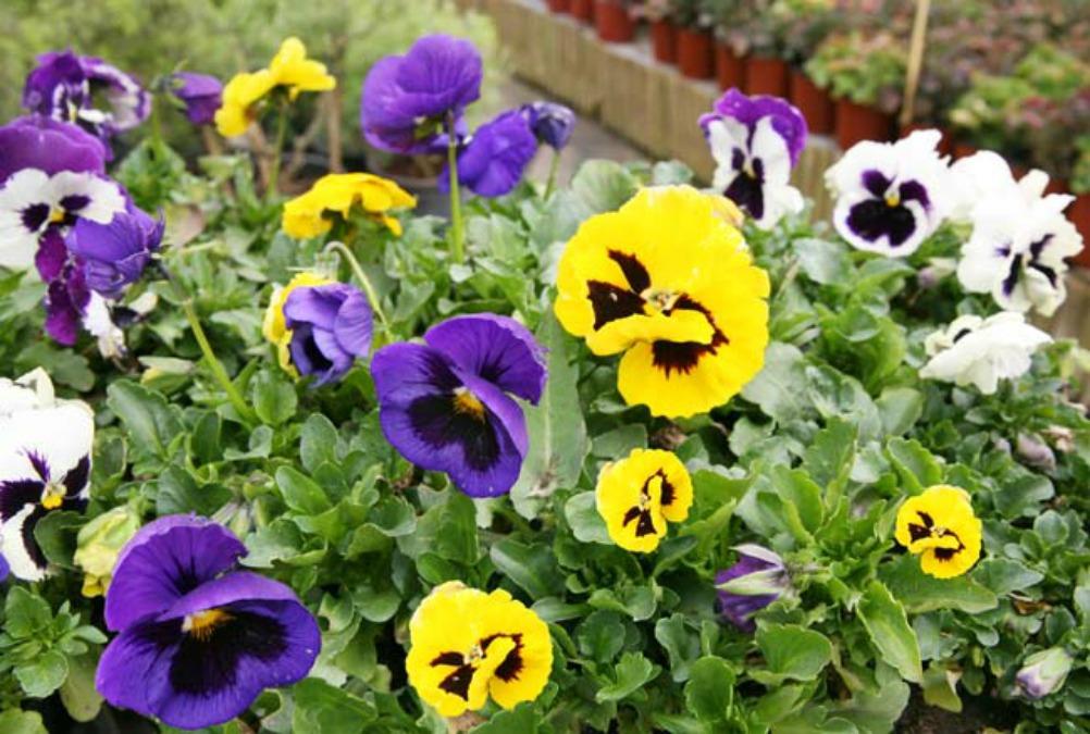 Πανσές ή βιόλα, καλλωπιστικό φυτό κήπου ή βεράντας