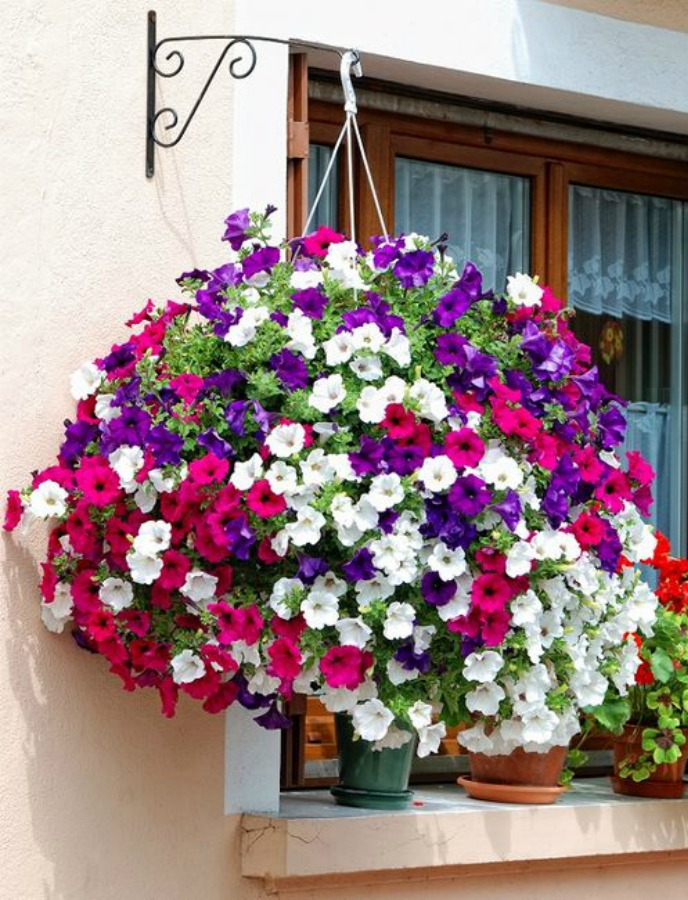 Πετούνια, δώδεκα από τα ομορφότερα ανοιξιάτικα λουλούδια