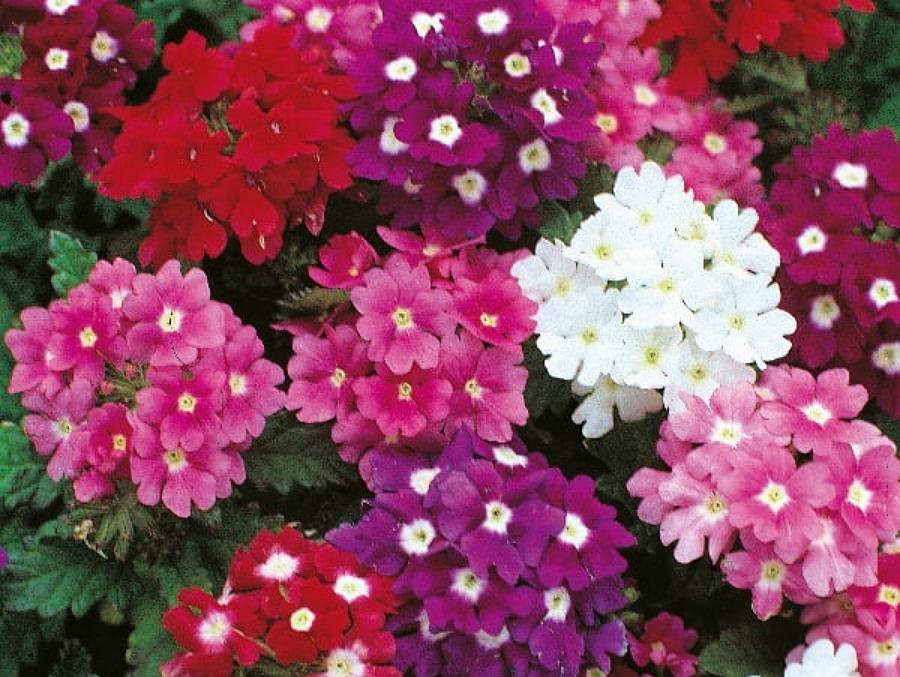 Βερβένα ένα όμορφο ανοιξιάτικο λουλούδι